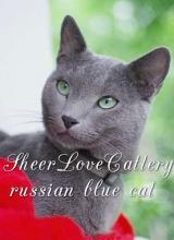 Sheer Love Cattery / Русские голубые кошки