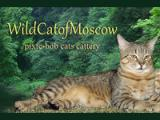WildCatofMoscow