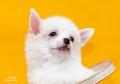 Китайская Хохлатая собака, пуховая девочка