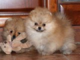 щенок померанского шпица из питомника ГолдПом