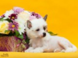 Китайская Хохлатая собака, голая девочка