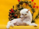 Китайская Хохлатая собака, голый мальчик