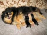 Мама и детки (окрасы чёрно-подпалый и крем)