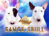 Sangelsbull
