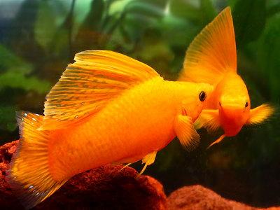 Паразитарные болезни аквариумных рыб - симптомы и описание