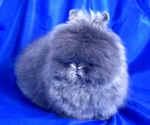 декоративные комнатные кролики
