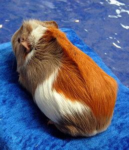 Морская свинка - породы и варианты типа шерсти